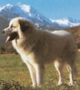 Patou dog of the Pyrenees